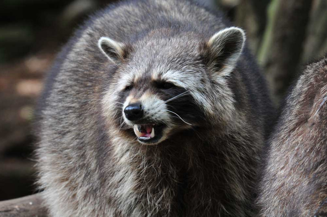 Don't Let Racoons Run Rampant in Your Attic